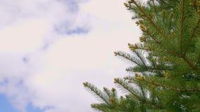 Ramas verdes del árbol de pino en bosque del verano en cierre del fondo del cielo azul para arriba metrajes