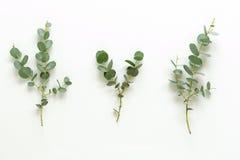 Ramas verdes del eucalipto en el fondo blanco Imagen de archivo libre de regalías