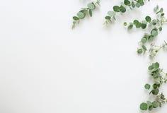 Ramas verdes del eucalipto en el fondo blanco Fotos de archivo