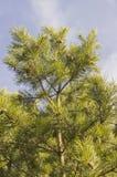 Ramas verdes del pino con los conos foto de archivo