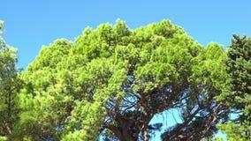 Ramas verdes del pino que se sacuden en el viento contra el cielo azul Makarska Croacia almacen de video