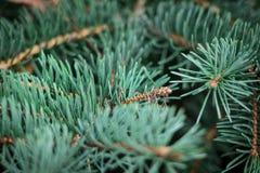 Ramas verdes hermosas del pino espinoso foto de archivo