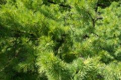 Ramas verdes vibrantes del larix en primavera Imagen de archivo libre de regalías