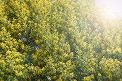 Ramas vivas florecientes de la mimosa en un árbol en el parque imagen de archivo