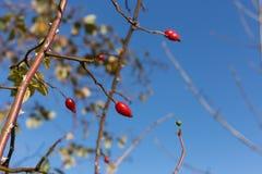 ramas y bayas de árboles en ellos en el otoño noviembre Foto de archivo