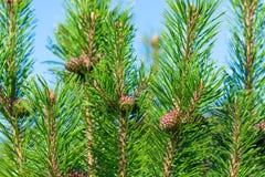 Ramas y conos verdes hermosos del pino Imagen de archivo
