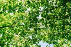 Ramas y hojas de árbol en el cielo azul Imagen de archivo
