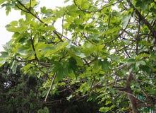 Ramas y hojas de higos Foto de archivo libre de regalías