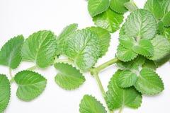 Ramas y hojas de la menta en el fondo blanco Imagen de archivo