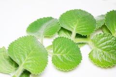 Ramas y hojas de la menta en el fondo blanco Imagen de archivo libre de regalías
