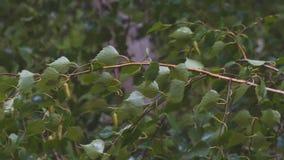 Ramas y hojas mojadas del abedul en lluvia almacen de video