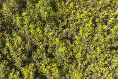 Ramas y hojas verdes de un árbol del tejo del arbusto foto de archivo