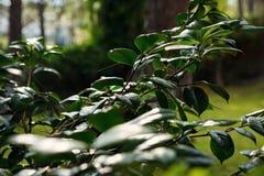 Ramas y hojas verdes en naturaleza fotos de archivo