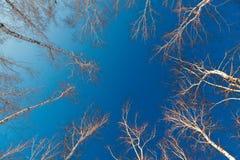 Ramas y troncos de los árboles de abedul en un fondo del cloudl Fotografía de archivo libre de regalías