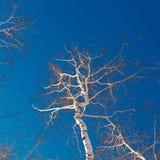 Ramas y troncos de los árboles de abedul en un fondo del cloudl Imágenes de archivo libres de regalías