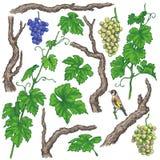 Ramas y vid dibujadas mano de la uva Stock de ilustración