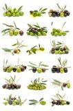 Ramassage d'olives fraîches photos stock