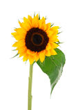 Ramassage de fleur de Sun Photographie stock libre de droits