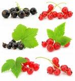 Ramassage de fruits de groseille noire et rouge Image stock