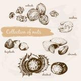 Ramassage de noix illustration libre de droits