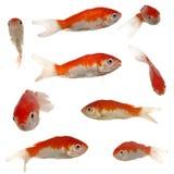 Ramassage de poissons d'or Image stock