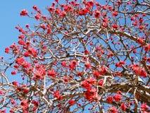Ramat Gan Coral Tree 2011 stock photography