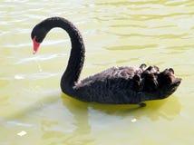 Ramat Gan Park the black svan on a pond 2010 Stock Image