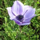 Ramat Gan Park de bloem 2007 van de Kroonanemoon Royalty-vrije Stock Foto