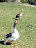 Ramat Gan Park Geese and Duck 2008 royalty free stock photos