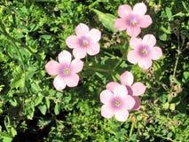 Ramat Gan Park Hairy Pink Flax flor abril de 2007 imagens de stock royalty free