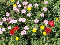 Ramat Gan Park Hairy Pink Flax och vallmo April 2007 Arkivbilder