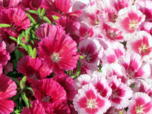 Ramat Gan Park Petunia flor março de 2012 Fotografia de Stock Royalty Free