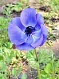 Ramat Gan Park Purple Crown Anemone febrero de 2011 Imágenes de archivo libres de regalías