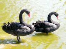 Ramat Gan Park two thick black swans 2010 Stock Images