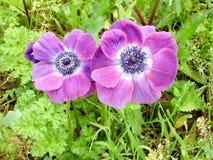 Ramat Gan Park Violet Crown Anemone Februari 2007 stock afbeeldingen