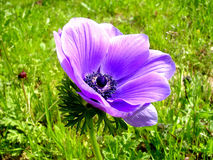 Ramat Gan Park Violet Crown Anemone January 2007 Royalty Free Stock Image