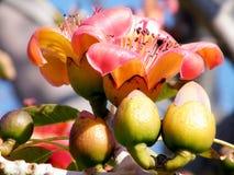 Ramat Gan Wolfson Park Bombax Ceiba buds and flowers 2011 Stock Photo
