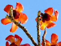 Ramat Gan Wolfson Park the Bombax Ceiba flowers 2012 Stock Photography