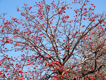 Ramat Gan Wolfson Park Coral Tree blossom 2011 royalty free stock images