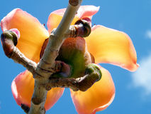 Ramat Gan Wolfson Park il fiore 2011 della ceiba del Bombax Fotografia Stock