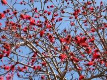 Ramat Gan Wolfson Park il fiore 2011 di Coral Tree Fotografia Stock Libera da Diritti