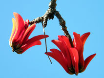 Ramat Gan Wolfson Park il fiore 2011 di Coral Tree Fotografia Stock