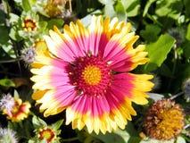 Ramat Gan Wolfson Park la flor 2011 del Gazania Imagen de archivo libre de regalías
