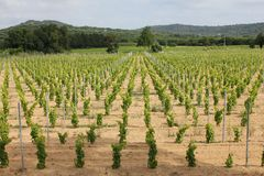 Ramatuelle Vineyard Royalty Free Stock Images