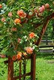 Rambler róże Fotografia Royalty Free
