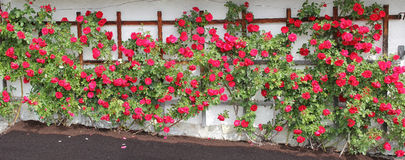 Rambler rose espalier with red roses Stock Images