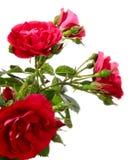 Rambler rose Royalty Free Stock Photography