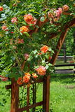 Summer background with flowers. Rambler roses in the garden. Lovely perfumed orange roses. Summer background with flowers. Lovely perfumed orange rambler roses royalty free stock photography