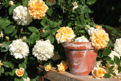 Rambler roses with old flower pot Royalty Free Stock Image