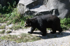 Rambling Bear. Black bear checking to see if its dinner time at the Zoo Royalty Free Stock Images